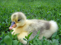 The small goose in a grass Royalty Free Stock Photo