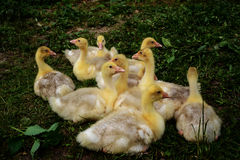 Small goose lying on the grass. Young geese resting on the lawn Stock Photo