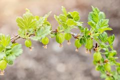 Small Gooseberries on a branch, growth and maturity of Ribes uva-crispa. Small Gooseberries on a branch, growth and maturity of organic Ribes uva-crispa royalty free stock photo