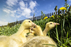 Small Gooses on Grass and Dandelion with Blue Sky. And Fence on Background. Spring Scene royalty free stock photo