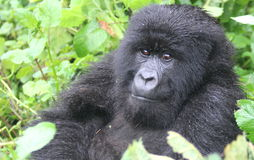 Small Gorilla. Taken in Volcanes National Park Rwanda on a Gorilla trek in September Stock Photo