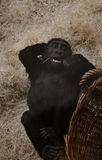 Small gorilla with a basket at the zoo Royalty Free Stock Images
