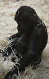 Small gorilla play with straw Stock Images