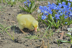 Small gosling 1 Royalty Free Stock Images
