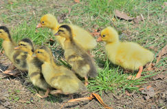 Small goslings and ducklings 2 Stock Photos