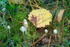 Small graceful mushrooms in the grass and yellow leaf of aspen. Small graceful mushrooms in the thin grass leaves, haircap and yellow leaf of aspen. Nostalgia royalty free stock photos
