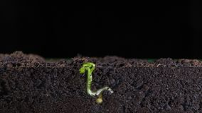 From a small grain of peas green shoots of plants grow, underground roots of plants, new leaves, time intervals