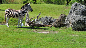 Small Grant's Zebra. The Grant's Zebra is the smallest of six subspecies of the Plains Zebra.  Photographed in a South Florida zoo Stock Photos