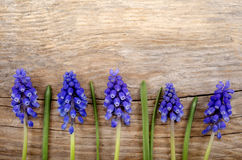 Small grape hyacinth on rustic wood Stock Image