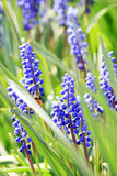 Small grape hyacinths Royalty Free Stock Images