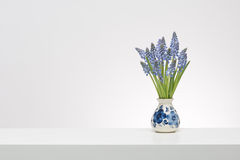 Small Grape Hyacinths in a delfts blue vase in white surrounding Stock Photos