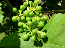 Small grapevine Royalty Free Stock Photo