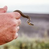 Small grass snake Royalty Free Stock Images