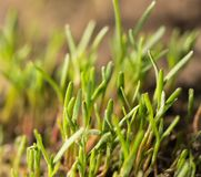 Small grass sprout in soil in nature Royalty Free Stock Image
