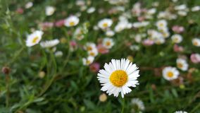 Small grass, white petals, yellow stamens on a green background, 1 flower image to the right of the image. ,Copy space texture bac Royalty Free Stock Photos