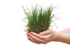 Small grass on woman hand. Royalty Free Stock Photo