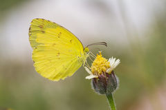 Small grass yellow butterfly Royalty Free Stock Photo