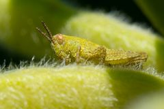 The small grasshopper. Sits on a leaflet Royalty Free Stock Photo
