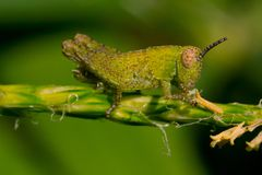 The small grasshopper. Sits on a branch and pads holds a branch part Royalty Free Stock Photo
