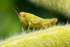 The small grasshopper. Sits on a leaflet Royalty Free Stock Photos