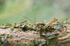 Small grasshopper camouflage Royalty Free Stock Photography