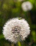 A small grasshopper on dandelion seedsand dandelion Stock Images