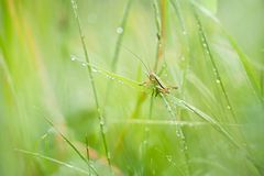 Small Grasshopper on green grass. A small grasshopper sitting on grass. Morning dew on the grass. They protect themselves from predators by camouflage stock images