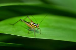 Small grasshopper on a green leaf. Little yellow grasshopper resting on a leaf Stock Images