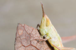 Small Grasshopper. Small Green Grasshopper Portrait on a Brown Leaf Royalty Free Stock Image