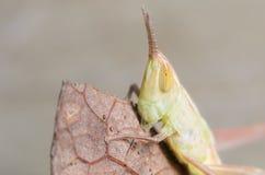 Small Grasshopper Royalty Free Stock Image