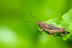 Small grasshopper Stock Images