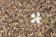 Small gravels with white flower. Small gravels with white plumeria flower Royalty Free Stock Photos