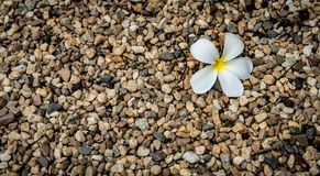 Small gravels with white flower. Small gravels with white plumeria flower Stock Image