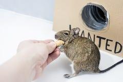 Small gray australian home pet mouse Degu. Small Australian home pet Degu. Isolated on white background royalty free stock photography