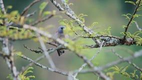 A small gray bird stock video footage