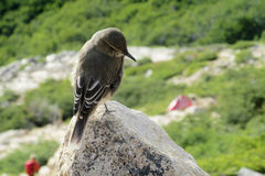 Small gray bird sitting on the rock Stock Image