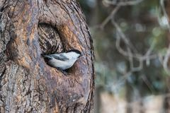 A small gray and black Willow Tit bird is in a hollow of a brown tree in the park in autumn. A small gray and black Willow Tit bird sits in a hollow of a brown stock photos