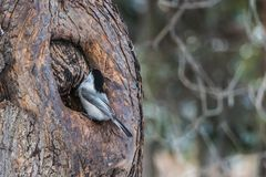 A small gray and black Willow Tit bird is in a hollow of a brown tree in the park in autumn royalty free stock photos