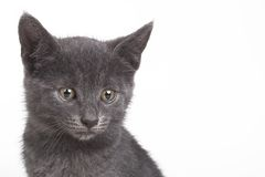 Small gray British cat Stock Photo