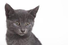 Small gray British cat Stock Photo