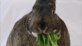 Small gray bunny rabbit eats a dandelion leaf closeup plain background. Adorable cute animal. Healthy eating stock footage