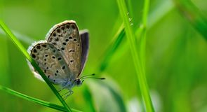 Small gray butterfly in the grass. Gray little butterfly in the grass,nIn the green grass in the sun Stock Photography
