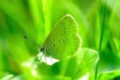 Small gray butterfly in the grass. Gray little butterfly in the grass,nIn the green grass in the sun Stock Photo