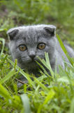 Small gray cat. Playing in the garden Stock Images