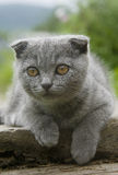 Small gray cat. Playing in the garden Royalty Free Stock Photography