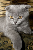 Small gray cat Royalty Free Stock Images