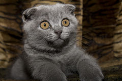 Small gray cat Stock Photography