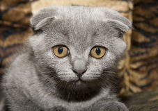 Small gray cat Royalty Free Stock Image