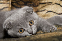 Small gray cat Royalty Free Stock Photos
