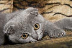 Small gray cat Royalty Free Stock Photos